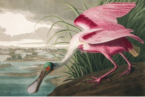 435 High Resolution Images from John John Audubon's The Birds of America for Free Download